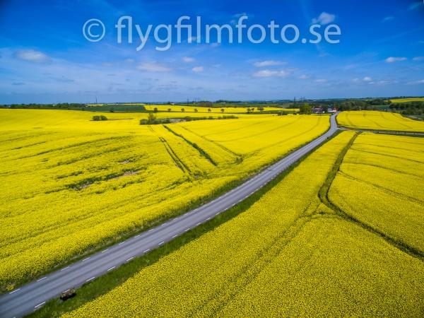 rapsen blommar i Skåne